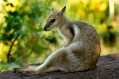 Short-eared Rock Wallaby, Litchfield National Park, Top End, Northern Territory