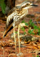 Bush stone curlew Rapid Creek Stuart Blanch ECNT_3
