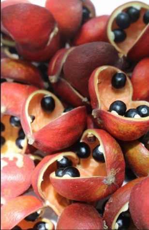 Sterculia seeds