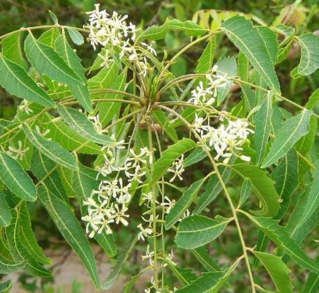 Neem-flower