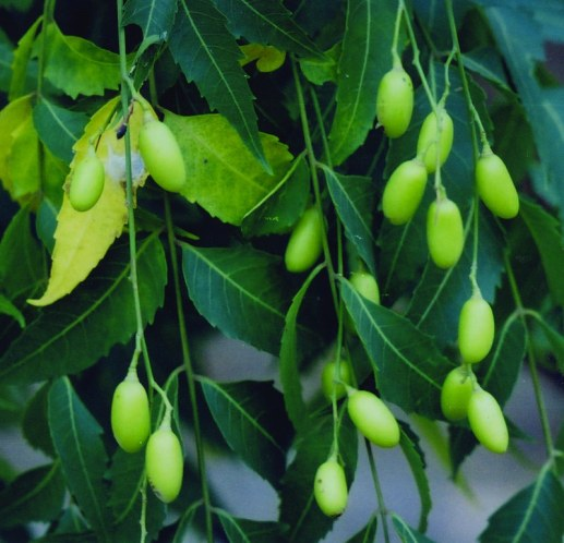 neem tree-fruit-leaves 1