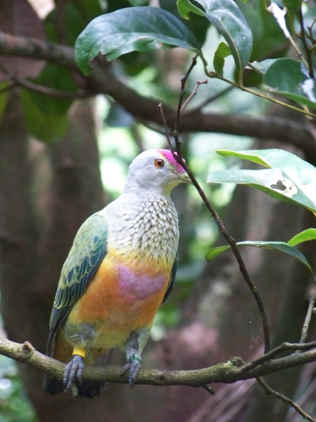 09-01-02 02. Wildlife park- rose crowned fruit dove