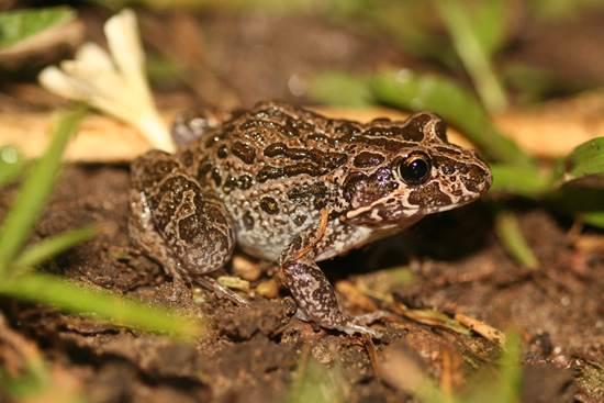 Mains frog