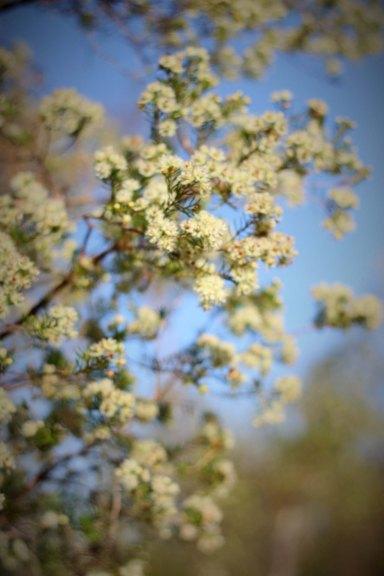 Verticordia blooms