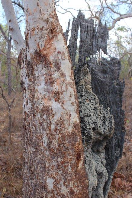 Corymbia foelscheana sm