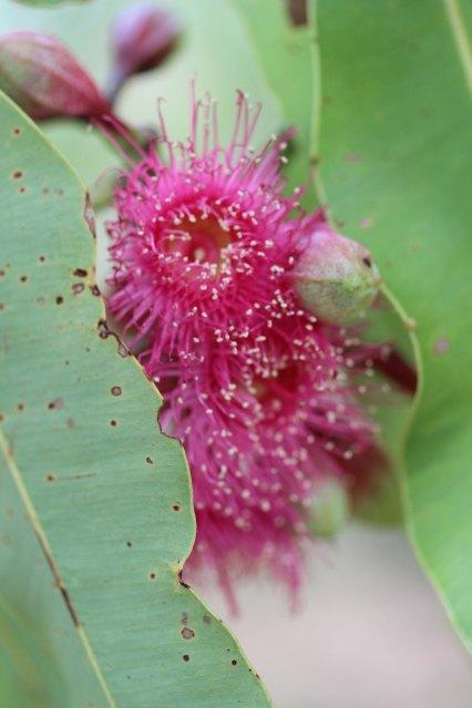 Corymbia ptychocarpa (2)sm