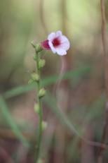 Centranthera cochinchinensis (3) (Medium)