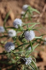 Spermacocea calliantha (1) (Medium)