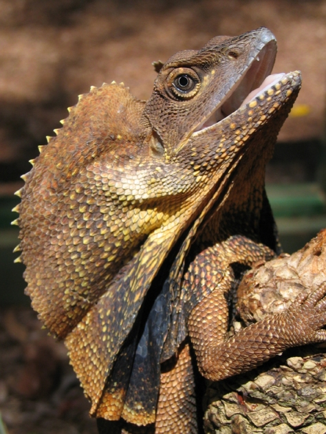 adult Frilled Lizard.JPG