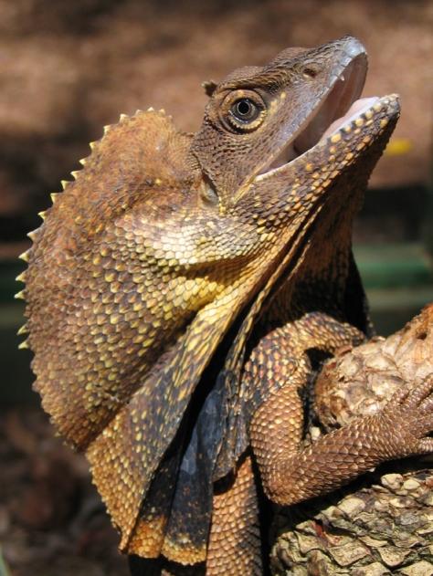 adult Frilled Lizard.JPG