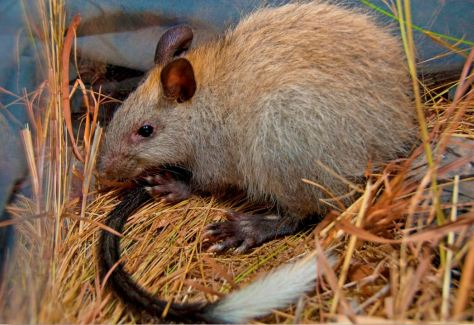 blackfooted-tree-rat