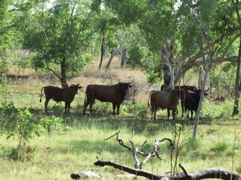 buffallos