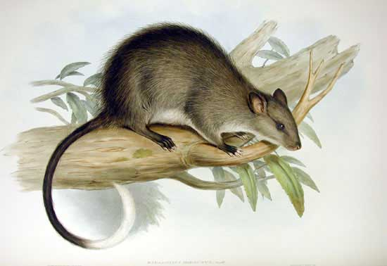 Black-footed_Tree-rat-wikipedia