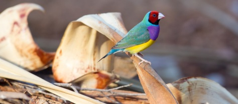 Gouldian-Finch-Edith-FallsNT